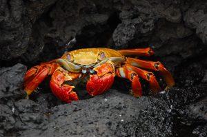 crab, animal, wildlife